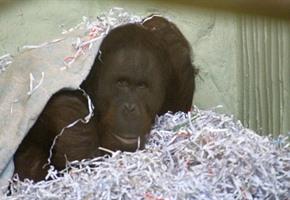 Zoo: Orang-Utan hält sich (noch) im Hintergrund