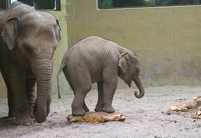 Besondere Leckerbissen: Zoo-Elefanten verschlangen Kürbisse