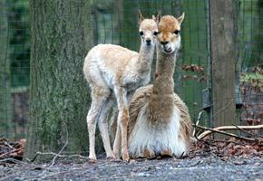 Zoo meldet Nachwuchs bei Vikunjas